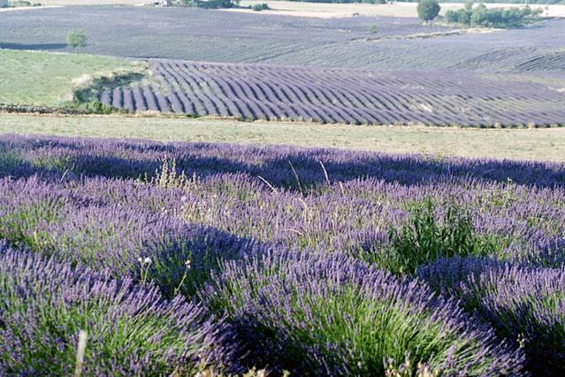 De nombreux champs de Lavandes bordent les routes entre la propriété et le village de Céreste