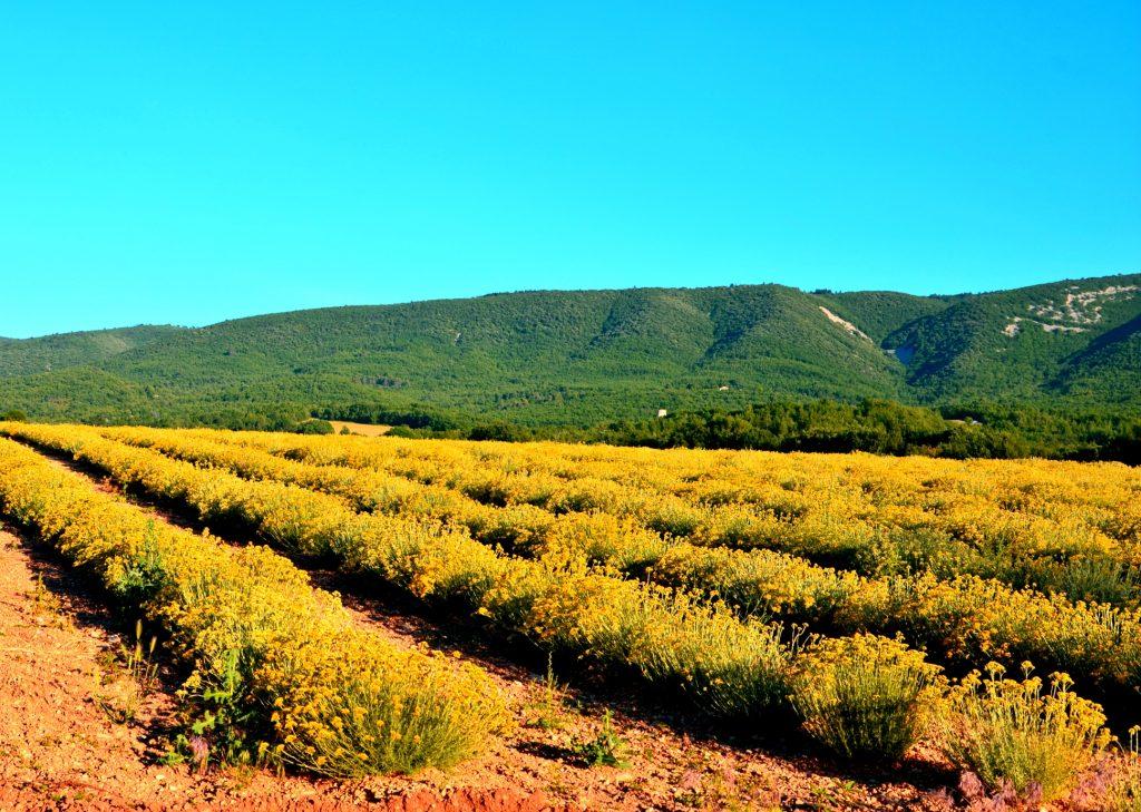 Culture d'Hélichryse à Céreste pour la production d'huile essentielle
